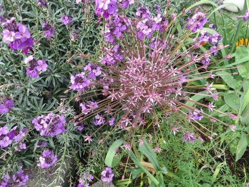 Erysimum 'Bowles Mauve' and Allium schubertii