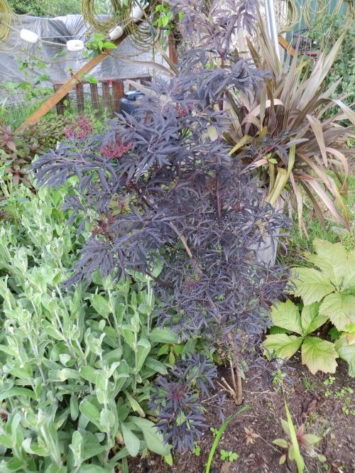 Sambucus 'Black Lace'