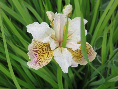 another iris