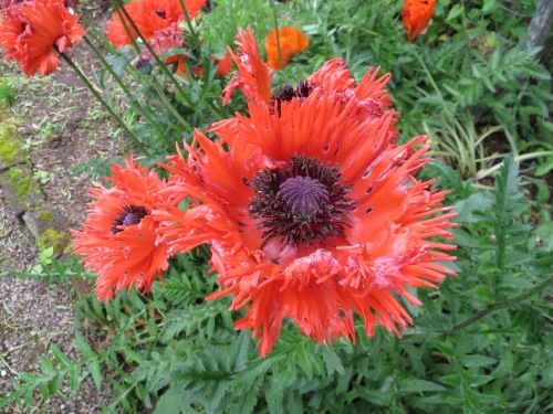 One of Ann's Oriental poppies.  (I must have some!!!)