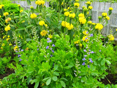 Baptisia backed with Phlomis fruticosa, Fifth Street Park