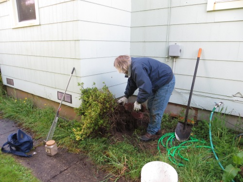 Allan digs out an azalea that Larry wanted transplanted...