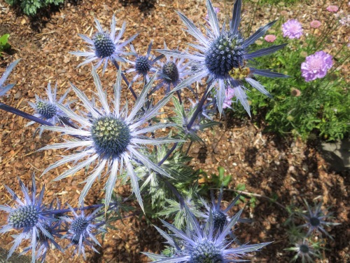 over the fence:  Judy's Eryngium 'Sapphire' Blue'