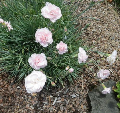 Judy's Dianthus