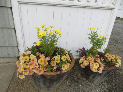 Agyranthemum 'Butterfly' and Petunia 'Pink Lemonade'