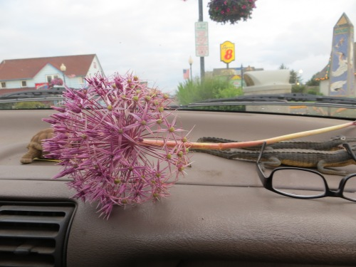 one Allium now coming home with us.