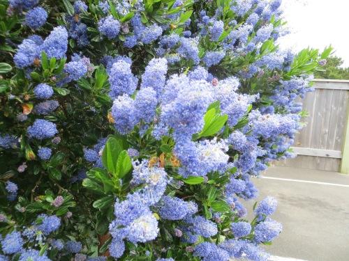 Ceanothus (California Lilac)