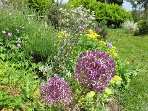 Allium albopilosum and Allium moly 'Jeannine'