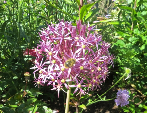 Allium albopilosum (Star of Persia)
