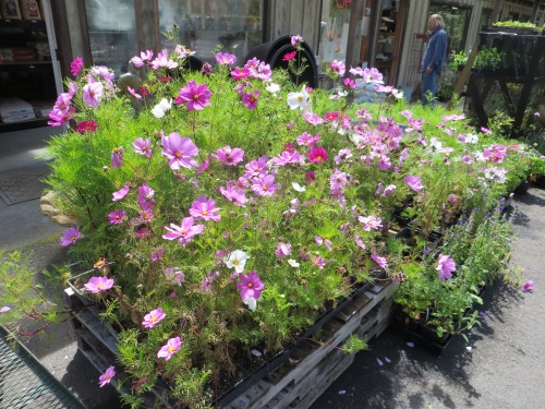 glorious cosmos for sale at Planter Box