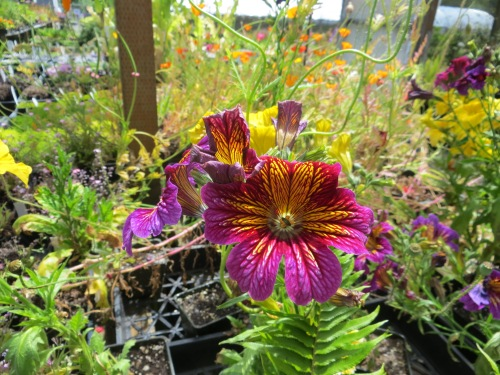 another great Planter Box annual: Salpiglossis