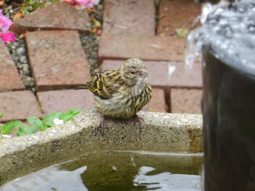 It flew over to the water feature.