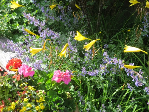 roses, catmint, daylilies