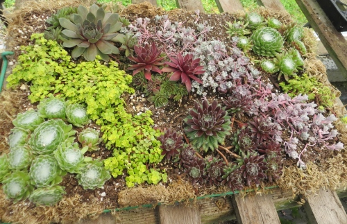 another sedum planting by Nancy