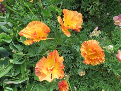 I'm pleased to report that my California poppies reseeded in a nice mix of colours instead of reverting to plain orange.