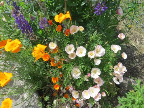reseeded California poppies