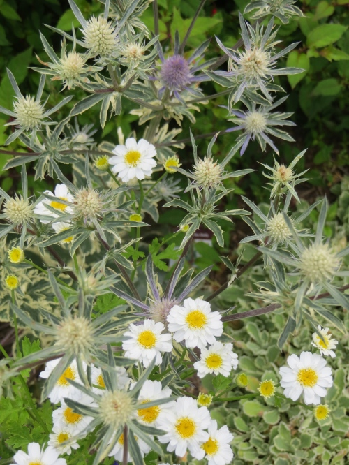 Eryngium 'Jade Frost' and feverfew