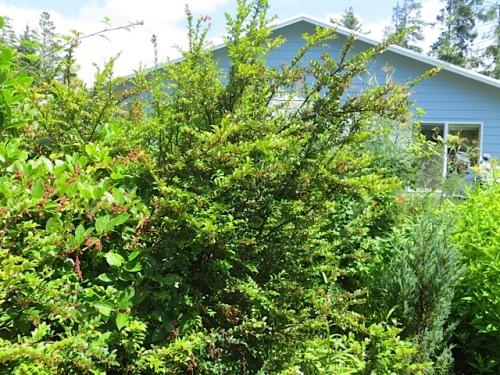 Vaccinium ovatum (evergreen huckleberry)