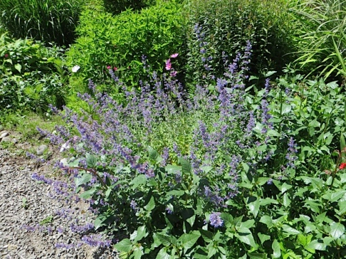Nepeta 'Walker's Low' (catmint0