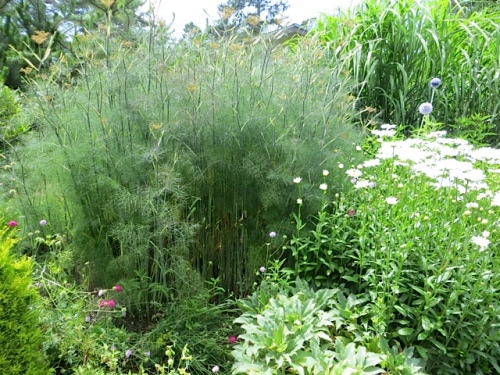 Bronze Fennel (may be invasive)