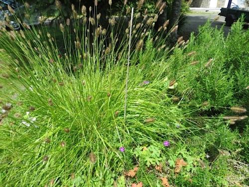 bunnytail grass, a Pennisetum (I think)