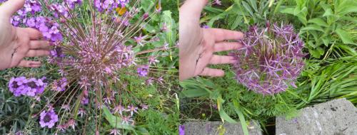 Alliums schubertii and albopilosum