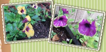 Torenia and Petunia