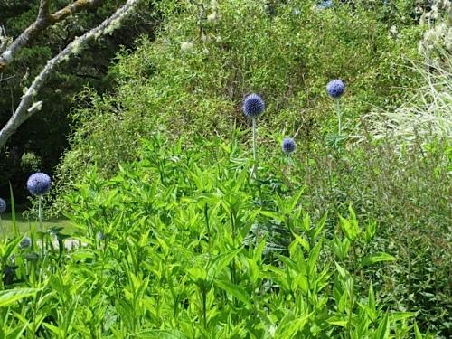Echinops (blue globe thistle)