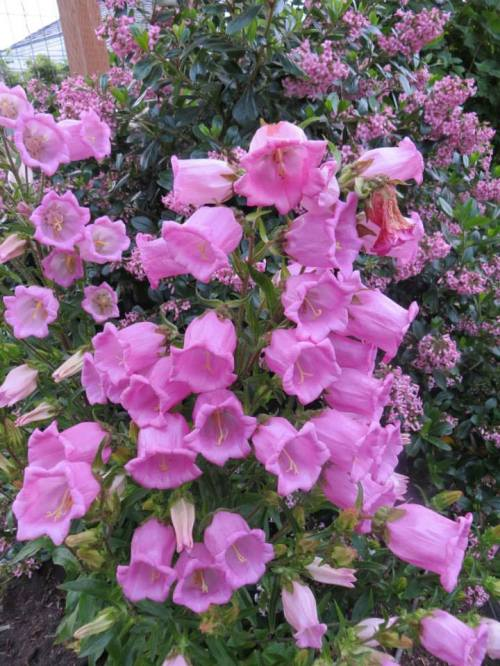 Pink Campanula