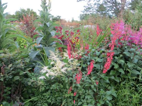 more Astilbe and a Phygelius