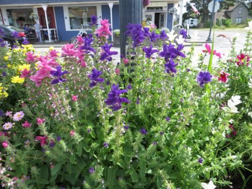 Salvia viridis (painted sage)