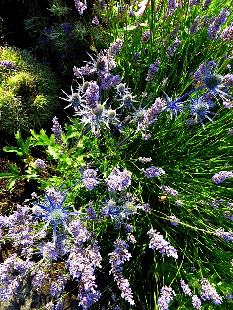 Eryngium and Lavender on Howerton