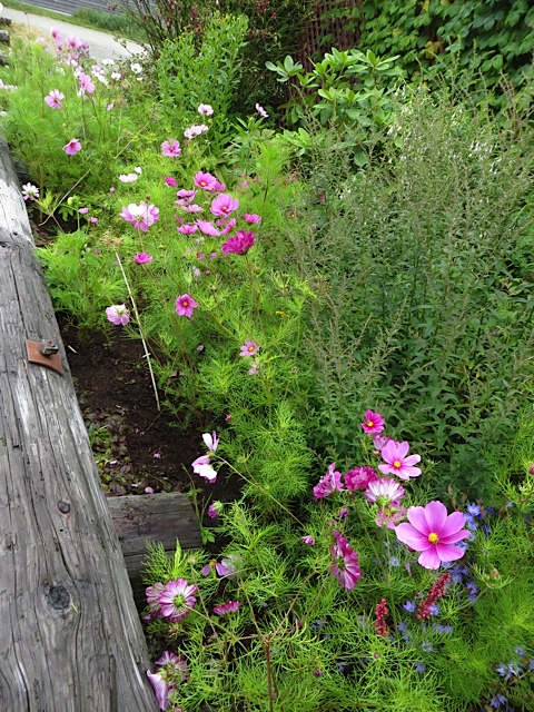 Cosmos filling in at the Depot
