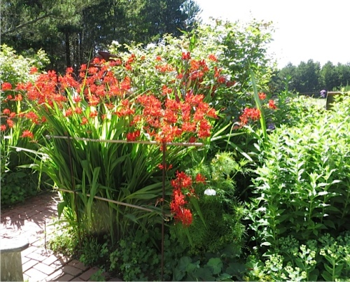 the crocosmia staking project from last week