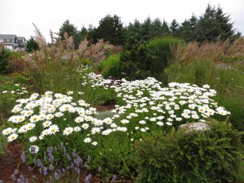 daisies and ornamental grasses