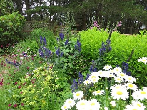 daisies and monkshood in southwest garden