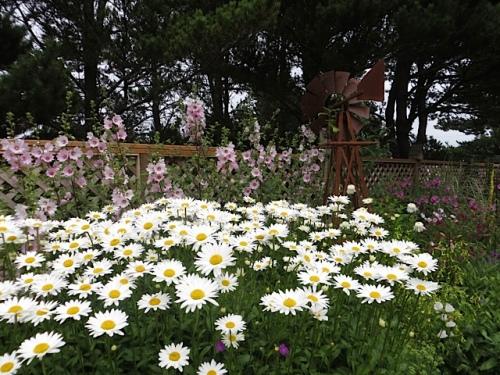 daisies and Lavatera 'Barnsley'