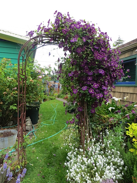 Would that all my clematis did this well!
