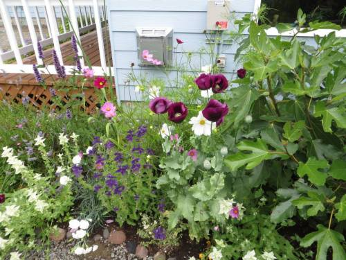 against west wall of house:  Papaver 'Lauren's Grape' and Salvia viridis