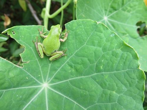 frog on nasturtium leaf