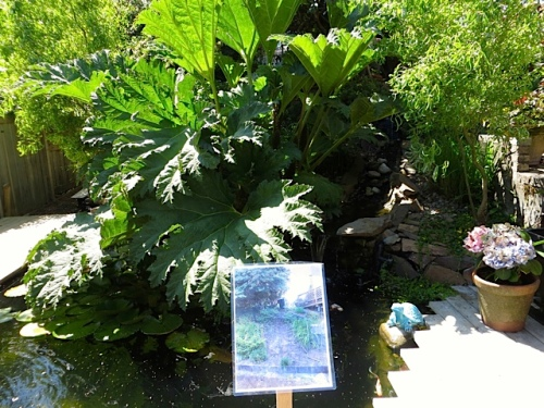 A large gunnera in the koi pond