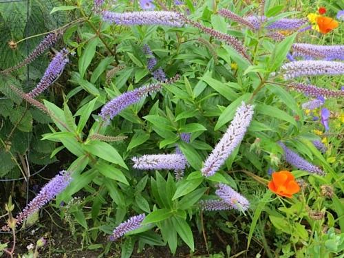 front garden hebe