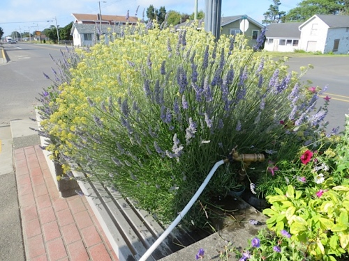 lavender and curry plant overtaking a bench