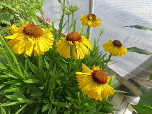 I could not resist this gorgeous 'Sahin's Early Flowerer' Helenium.