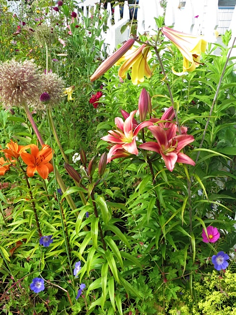 lilies and alliums in the picket fence garden