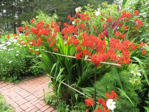 Crocosmia 'Lucifer' that Allan fenced in with rebar and bamboo