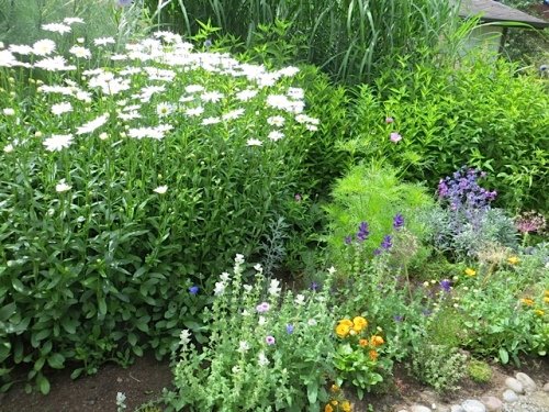 shasta daisies and painted sage and more