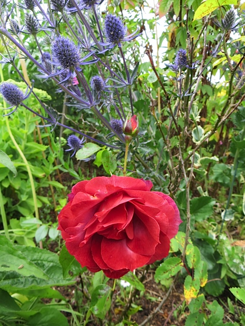 a rose from Heirloom, possibly Hot Cocoa, and Eryngium 'Jade Frost'