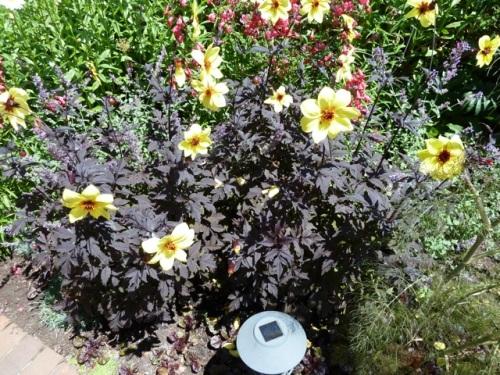 Allan had not noticed dahlias with dark foliage before.