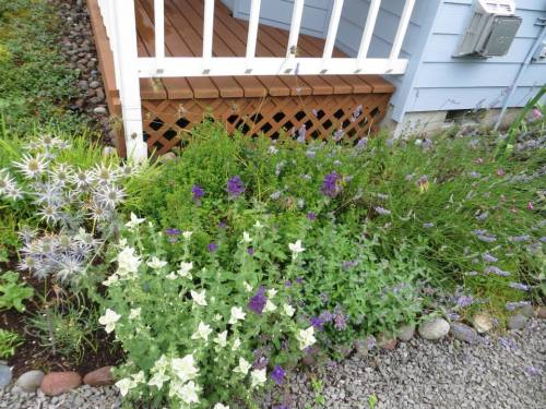 west of porch:  Eryngium 'Sapphire Blue', Salvia viridis, and Lavender